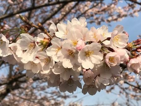 新入社員を迎えて 桜の季節